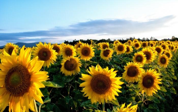 Nature Sunflower Flowers Field Flower Wallpaper Hd For Desktop Free Download